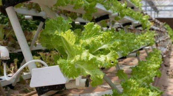 На вертикальній фермі на Київщині вирощують понад 25 найменувань зелені методом аеропоніки фото, ілюстрація
