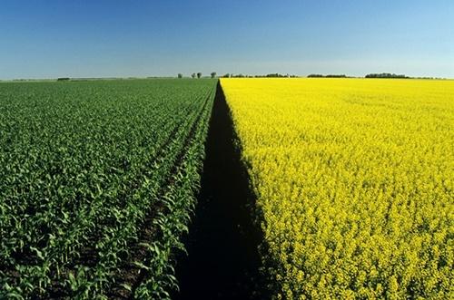 На початок грудня запаси сої та ріпаку в Україні нижчі за торішні фото, ілюстрація