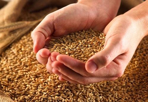 За обсягами виробництва зернових та зернобобових культур Запорізька область вийшла на перше місце фото, ілюстрація
