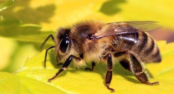 Украинские пчелы будут спасать в Канаде местную популяцию фото, иллюстрация