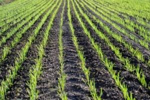 Аграрії України вперше вийшли на прогнозовані площі озимих фото, ілюстрація