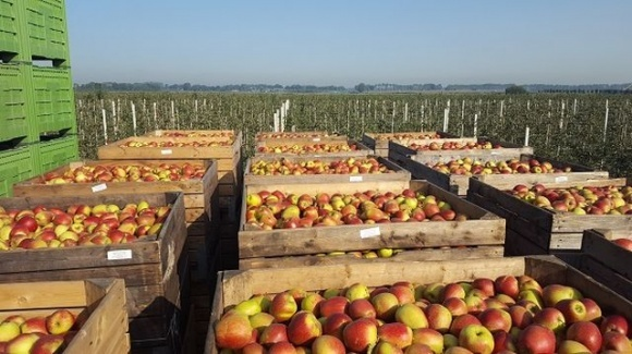 Коронавирус влияет на рынок яблок в Польше фото, иллюстрация