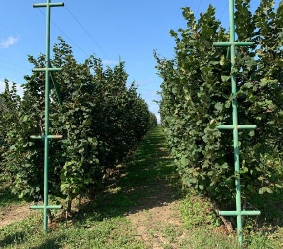 В Украине внедряют интенсивную технологию выращивания фундука фото, иллюстрация