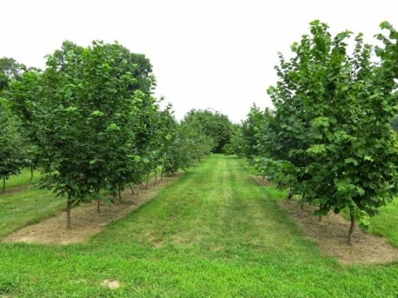 Зеленые клоны: фермеры Одесской области выращивают фундук из пробирки фото, иллюстрация