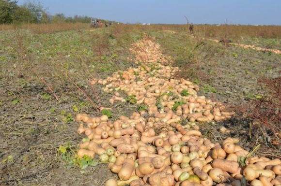 Фермеры ежегодно увеличивают площади под тыквой фото, иллюстрация