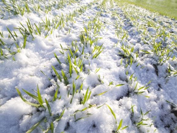 В восточных областях Украины в неудовлетворительном состоянии находится 10-20% посевов озимых культур фото, иллюстрация