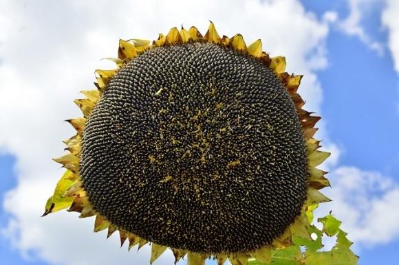 Найбільш проблемною культурою в минулому році був соняшник фото, ілюстрація