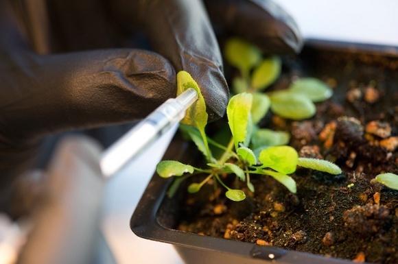 ВРУ собирается установить мораторий на выращивание ГМ-растений? фото, иллюстрация
