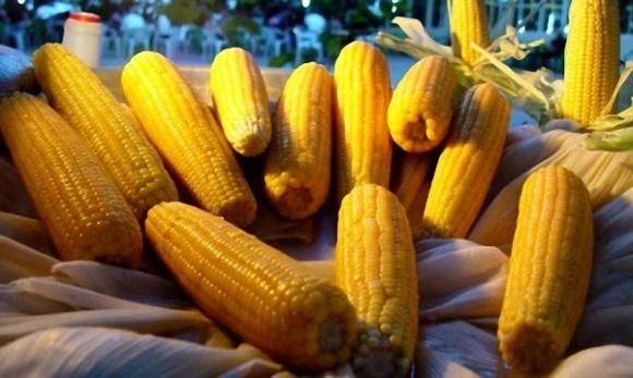 ГМО-кукуруза потеряла устойчивость к ряду вредителей фото, иллюстрация