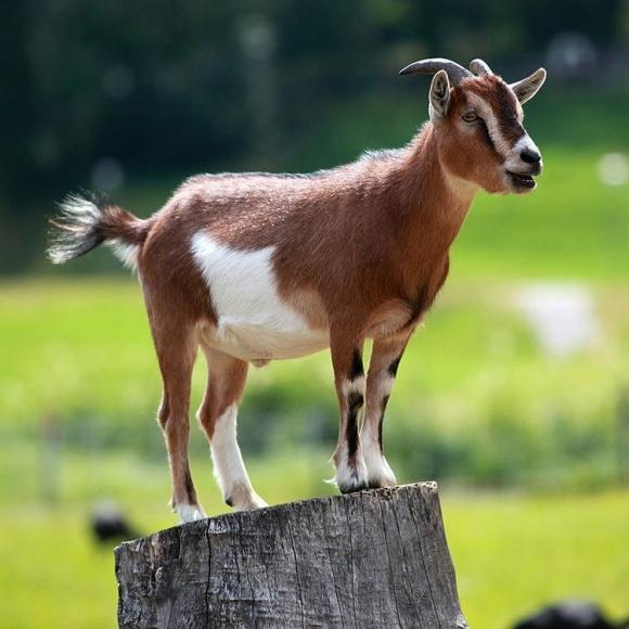 В Англии выведут идеальных коз фото, иллюстрация