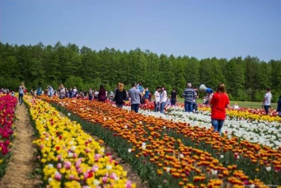 В Нидерландах фермеры косят тюльпановые поля, чтобы избежать скопления людей фото, иллюстрация
