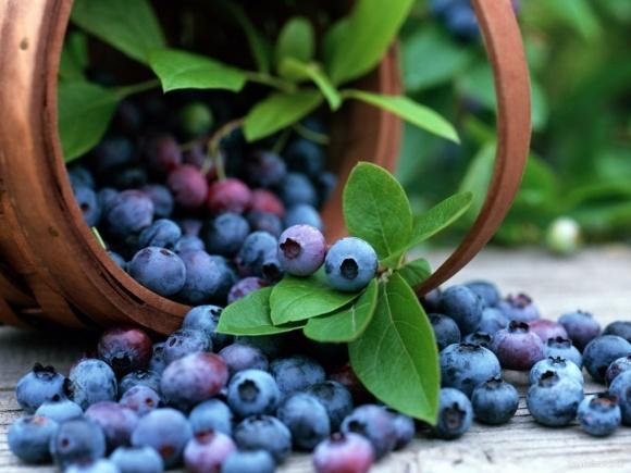Урожайность украинской голубики выше, чем в ягодных хозяйствах ЕС фото, иллюстрация
