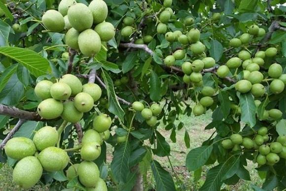 Буковинские селекционеры НААН вывели 4 скороплодных сорта грецкого ореха фото, иллюстрация