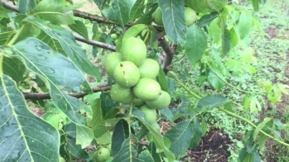 Украина планирует экспортировать почти половину будущего урожая грецкого ореха фото, иллюстрация