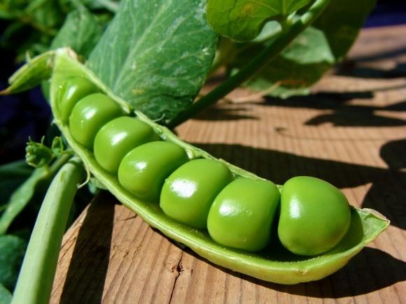 Урожайность современных сортов гороха достигает 50 ц/га фото, иллюстрация