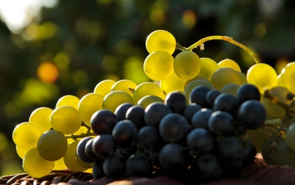 Беспощадная жара в Европе стала благоприятной для виноградарей фото, иллюстрация