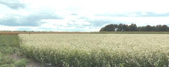 Из-за холодов на Полтавщине поздние зерновые могут дольше созревать, — ученый  фото, иллюстрация
