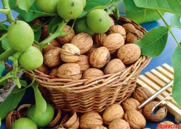 Як захистити горіхові сади від мармурового клопа? фото, ілюстрація