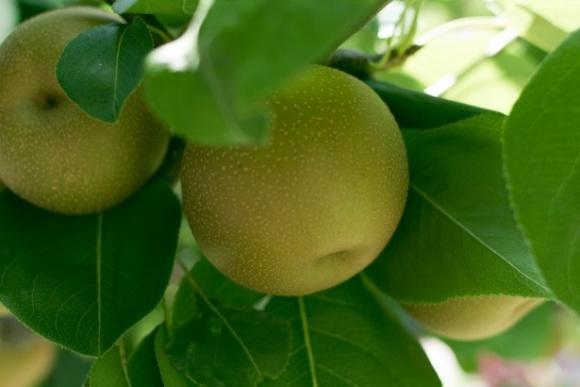 Ціни на яблука стримує рекордний врожай і ембарго Росії фото, ілюстрація