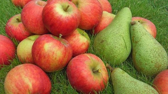 WAPA озвучила перший прогноз врожаю яблук і груш у ЄС на 2018 рік фото, ілюстрація