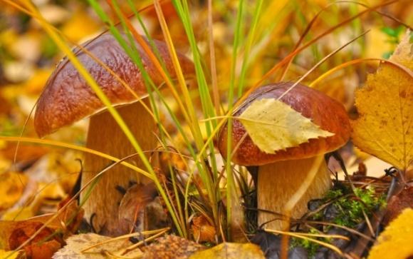 «Дары Гуцульщины» продают лесные грибы в несколько стран фото, иллюстрация