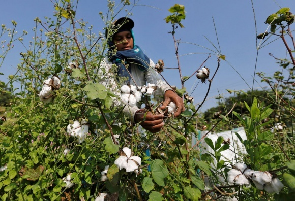 Monsanto продает свой хлопковый бренд индийской Tierra Agrotech фото, иллюстрация