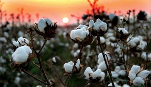 Бавовняні поля на Херсонщині можуть стати реальністю фото, ілюстрація
