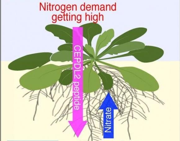 Обнаружен гормон, который отвечает за регуляцию поглощения растениями азота фото, иллюстрация