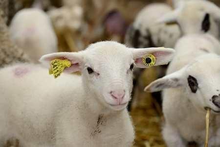 ФАО и МЭБ инициируют кампанию по борьбе с чумой мелких жвачных животных фото, иллюстрация