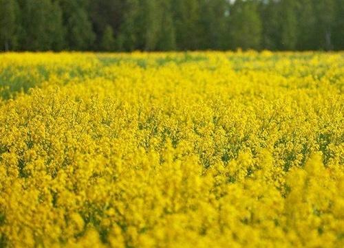 Україна встановила 10-річний рекорд з експорту ріпаку фото, ілюстрація
