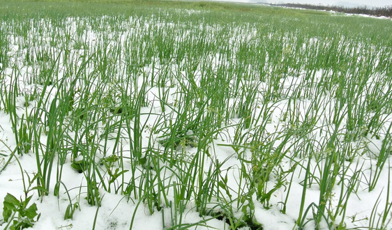 Виживання озимих зернових в Україні становить 95-98% фото, ілюстрація
