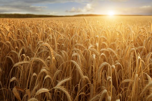 Єгипет встановив нові правила ввезення пшениці фото, ілюстрація