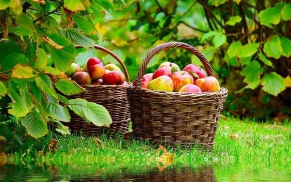 Українські яблука вперше поїхали відразу в 5 країн Близького Сходу  фото, ілюстрація