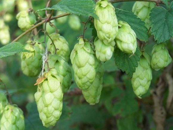 Пиво может подорожать в связи с остановкой единственной линии переработки хмеля фото, иллюстрация