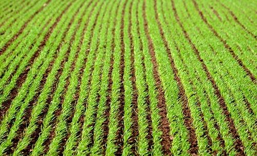 У озимих зернових відзначалися ростові процеси фото, ілюстрація