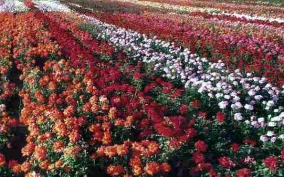За украинские саженцы роз в Европе готовы платить больше, чем своим производителям фото, иллюстрация