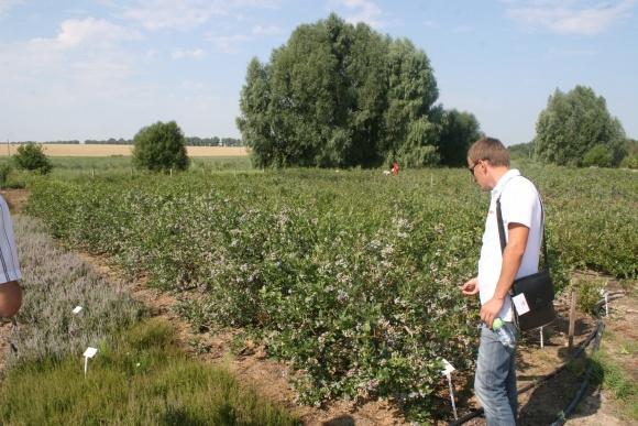 Польські виробники лохини наблизилися до точки нульової рентабельності фото, ілюстрація