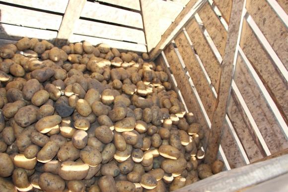 Урожай картофеля в Украине составляет 15-16 млн т фото, иллюстрация