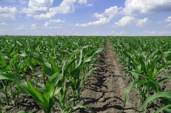 Толерантний до культури — нещадний до бур'янів: обираємо післясходовий гербіцид для кукурудзи фото, ілюстрація