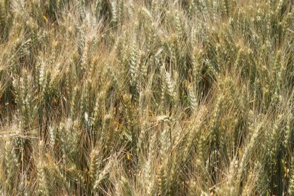 Великобританія зібрала врожай пшениці і ячменю нижче середнього фото, ілюстрація