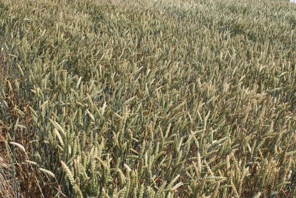 У новому стандарті на пшеницю буде переглянуто кількість класів та методи визначення якості фото, ілюстрація