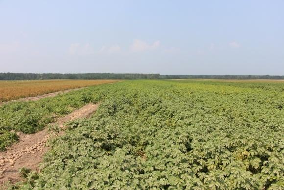 На гектарі картоплі можна заробити $3500, — голова СОК «Волинська картопля» фото, ілюстрація