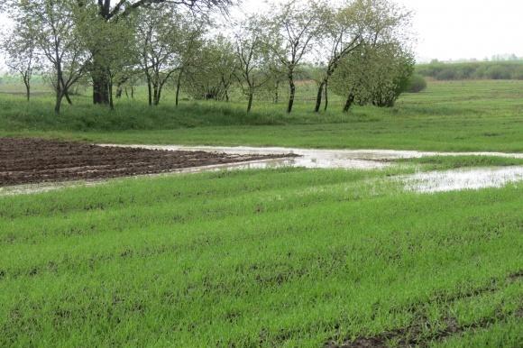 Дощі у вихідні дні істотно не вплинули на стан озимини фото, ілюстрація