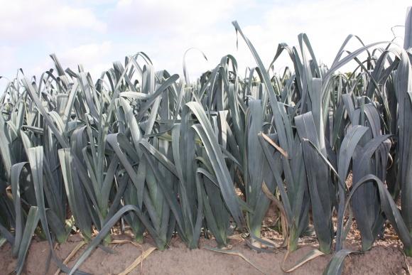 Намітилася тенденція скорочення площ посіву овочевих культур фото, ілюстрація