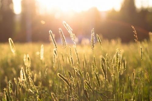 Найбільше від спеки можуть постраждати ярі зернові культури фото, ілюстрація