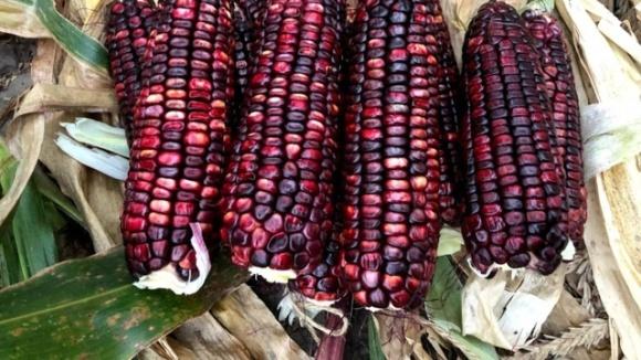 Дієтична фіолетова кукурудза набуває популярності фото, ілюстрація