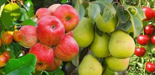 НААН: Укладено 309 угод на використання нових сортів плодових рослин і технологій їх вирощування фото, ілюстрація