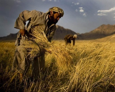 У 2018 році Індія збільшить виробництво пшениці та відмовиться від імпорту фото, ілюстрація
