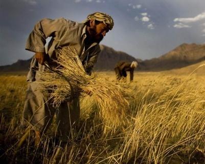В 2018 году Индия увеличит производство пшеницы и откажется от импорта фото, иллюстрация