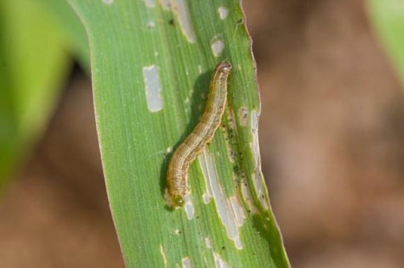В Китае из-за листовой совки недополучили около 11 млн тонн кукурузы, в Замбии — 15% урожая фото, иллюстрация
